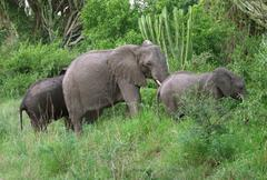 elephant family in green vegetation - stock photo