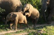 Stock Photo of Funny Elephants