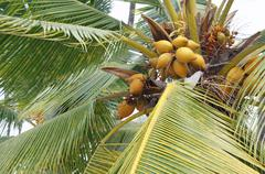 coconuts in palm tree - stock photo