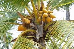 Coconuts in palm tree Stock Photos