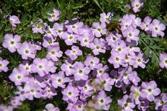 mountain wildflowers - phlox - stock photo