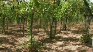 Stock Video Footage of Rows of grape vines in the wind