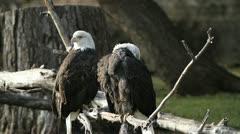 Bald Eagles sitting on dead tree Stock Footage