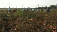 Stock Video Footage of Workers collecting tomatoes