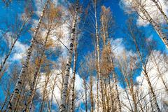 Birch trees against the blue sky. Stock Photos