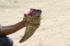 Stock Photo of Poacher and Rhino Horn