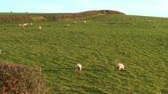 Sheep (6) Stock Footage