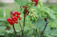 Currant bush Stock Photos