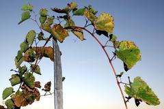 Grape stalks Stock Photos