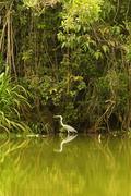 Grey Stork Shot In The Wild In Ecuadorian Amazonia Stock Photos