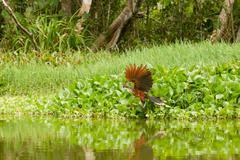 Male Hoatzin Takeoff In Ecuadorian Amazonia Stock Photos