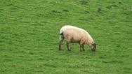 Sheep (11) Stock Footage