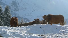 Cattle in winter Stock Footage