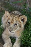 Baby lion - stock photo