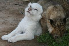 Baby lions, white lion - stock photo