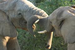 Stock Photo of Elephants fighting