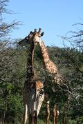 Giraffes in love Stock Photos