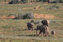 Group of Elephants Stock Photos