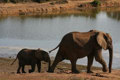Stock Photo of Group of Elephants at pond