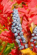 Plump fruit at bumper season Stock Photos
