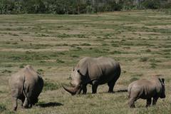 Rhinos Stock Photos