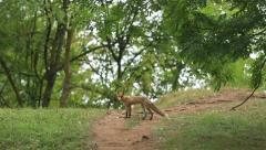 Fox in the forest Stock Footage