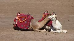 Camels in love - stock photo