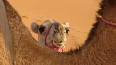 Marocco, Camel close-up Stock Photos