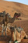 Marocco, Camels in the dessert Stock Photos