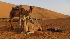 Marocco, Camels in the dessert, close-up - stock photo