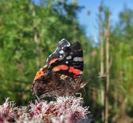 Red admiral in sunny ambiance Stock Photos