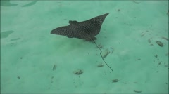 The Stingray In The Sea Stock Footage