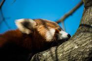 Red Panda Face Close Up Stock Photos