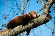 Red Panda Sleeping on Tree Branch Stock Photos