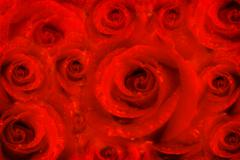 Background rose flowers, red passion Stock Photos