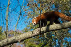 Red Panda Walking on Tree Branch Stock Photos