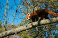 Red Panda Walking on Tree Branch Stock Photos