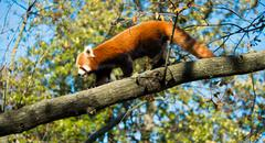 Red Panda in sunlight - stock photo
