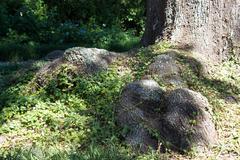 Overgrown Roots - stock photo