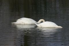 mute swans (cygnus olor) - stock photo
