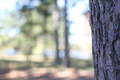Pine tree with blurred background Stock Photos