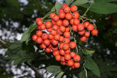 european rowan (sorbus aucuparia) - stock photo