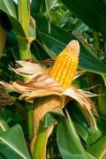 The mature corn crop Stock Photos