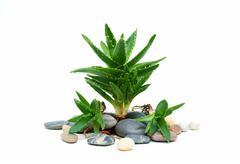 Aloe vera and stones isolated on white background Stock Photos
