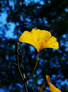 The branch of Ginkgo biloba with yellow leaves - stock photo