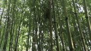Stock Video Footage of Bamboo Forest Walk