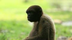 Wooly monkey fooling around, Ecuadorian Amazonia Stock Footage