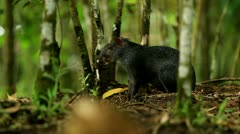 Central American agouti or guatusa, shot in the wild in Ecuadorian Amazonia Stock Footage