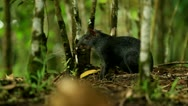 Stock Video Footage of Central American agouti or guatusa, shot in the wild in Ecuadorian Amazonia