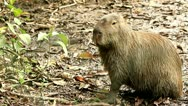 Stock Video Footage of capybara, hydrochoerus hydrochaeris, the largest extant rodent in the world,